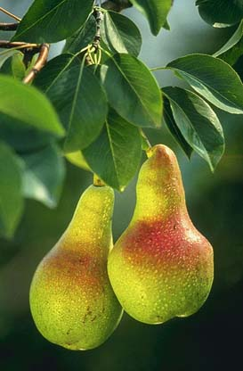 Select high quality fruits in season