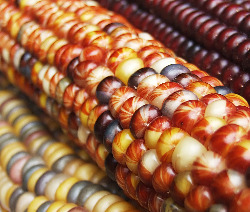 colorful 'Indian' corn