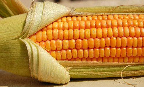 Corn on the cob, partly husked
